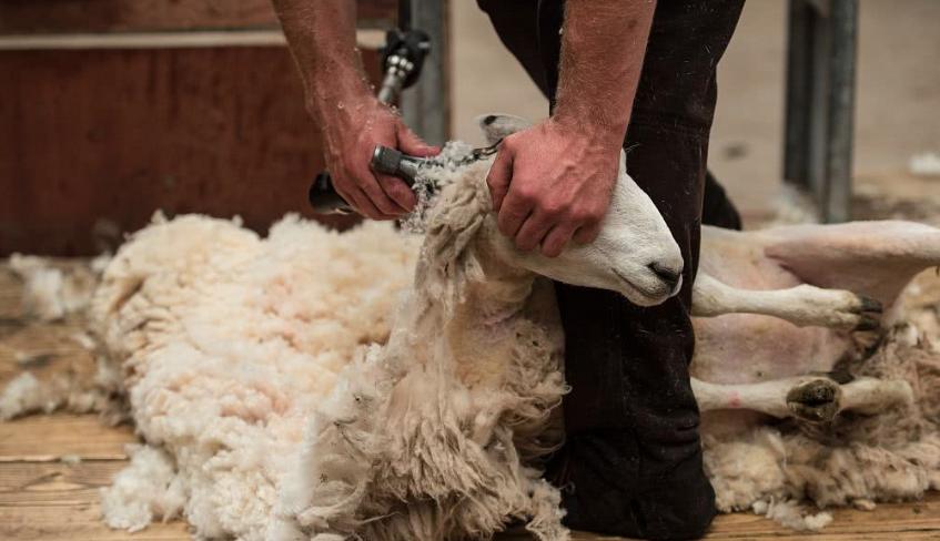「喀什米爾羊毛」的圖片搜尋結果