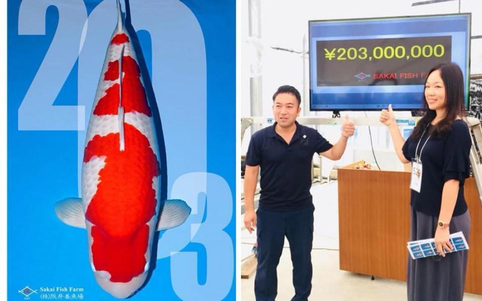 錦鯉價格創新高 價值5500萬台幣世界最貴的錦鯉由台灣標得
